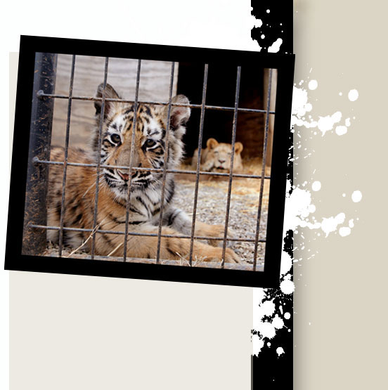 Tony, a cub tiger, looks out of a pen at the G.W. Exotic Animal Park south of Pauls Valley