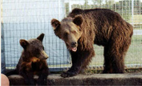 Siberian brown bears rescued by local sheriffs