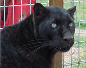 The black Leopard, Baghera was rescued from Ardmore