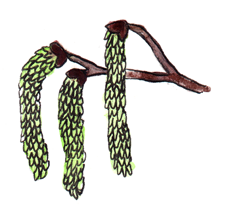 watercolor painting of quaking aspen catkins
