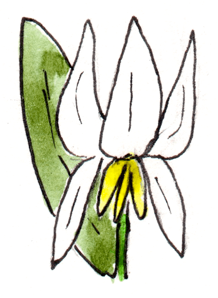 watercolor painting of a trout lily flower