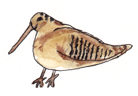 watercolor painting of a woodcock