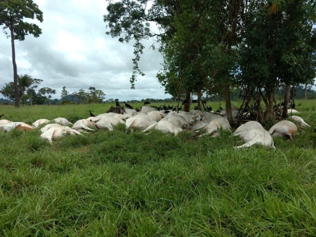 Morte de gado_Rondonia