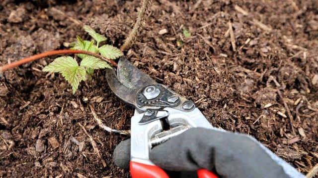 cutting back raspberry canes