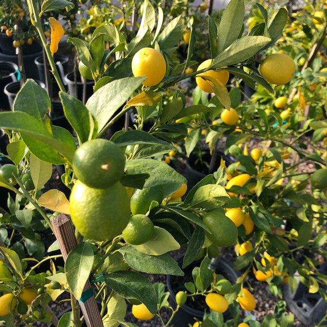 lemon and lime trees