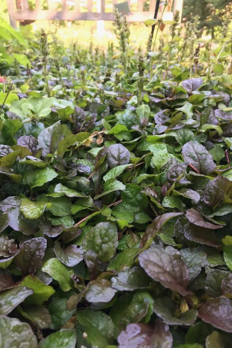 Ajuga is a wonderful shade plant