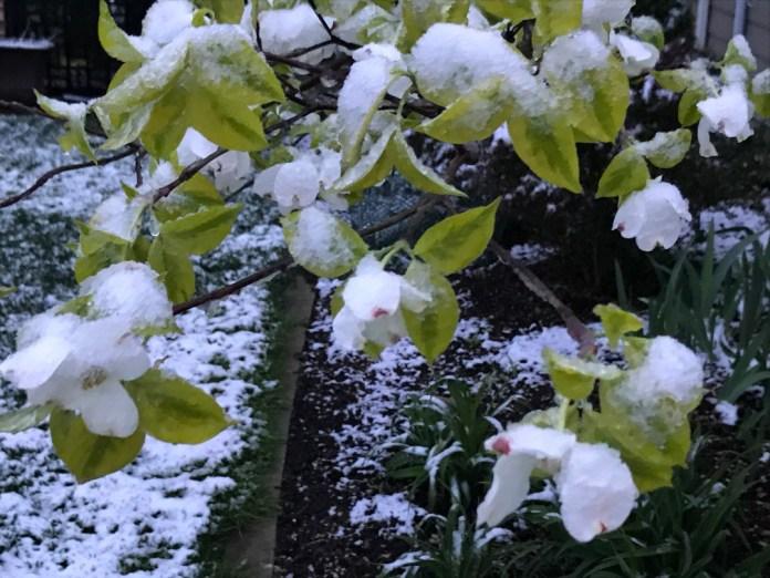 वसंत के साथ एक पेड़ पर बर्फ खिलता है