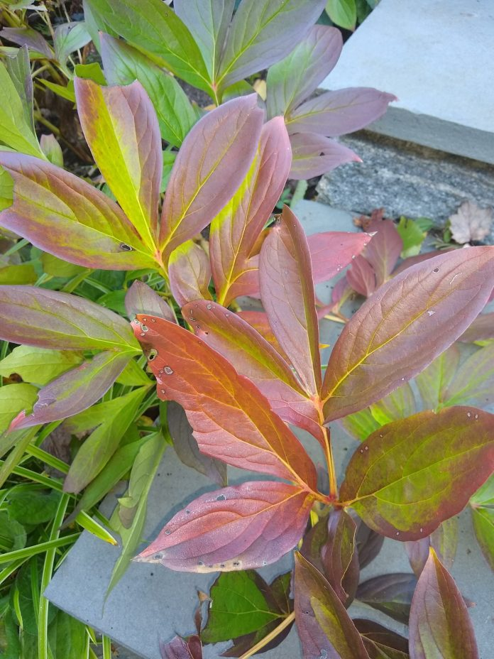 Peony foliage with fall color