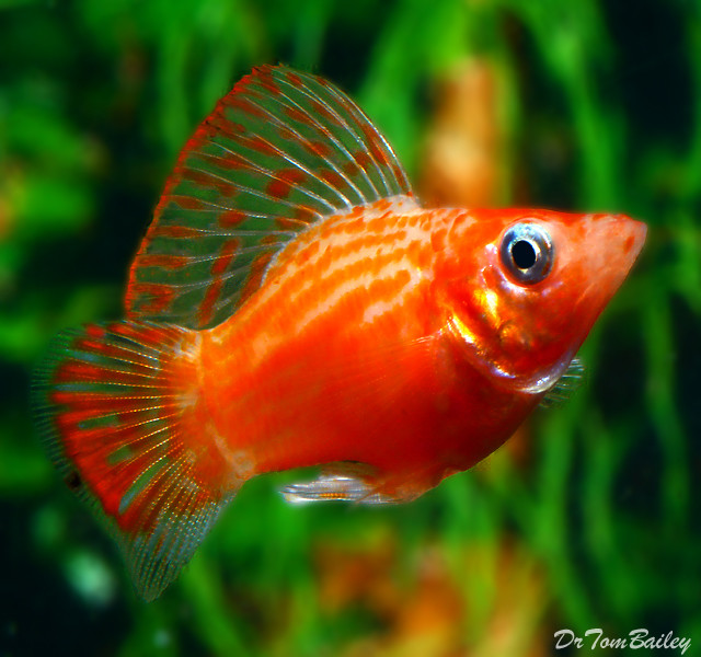 Balloon Mollies Can Live Freshwater