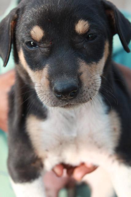 Puppy Cute Black Public Domain Pictures