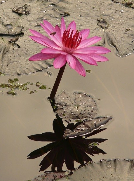 Lotus from mud