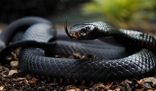 World's Fastest Snake | The Black Mamba