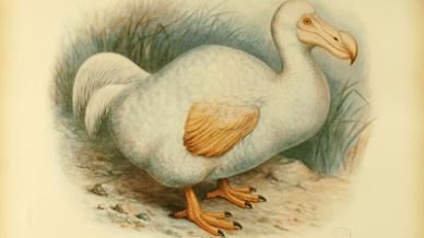 Extinctbirds1907-Didus_solitarius