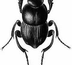 pd-sisyphus-beetle