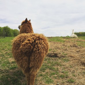 Gabe and Apollo, the alpaca and llama duo at Evan's Knob Farm