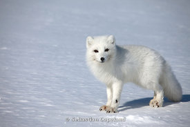 Image result for arctic wildlife