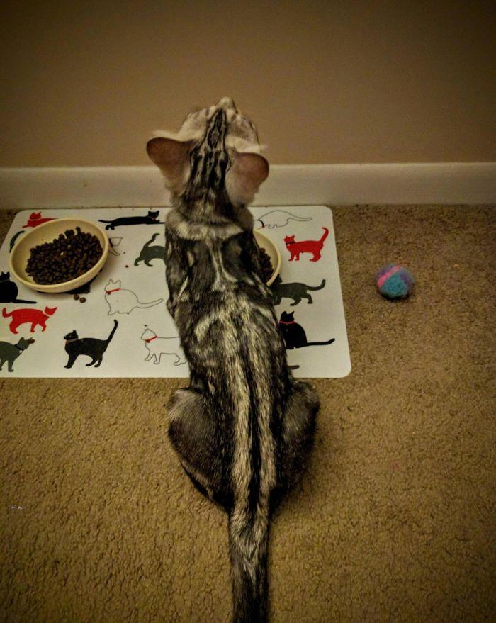 Marca de esapada en la espalda - marcas de pelajes de gatos muy divertidas