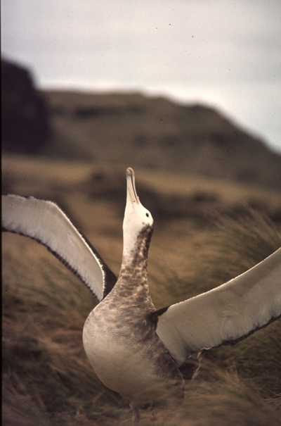 Amsterdam Island albatross (Diomedea-amsterdamensis), is down to only 100 birds. Albatrosses are among the world's most endangered birds. Photo by: Eric van der Vlist.