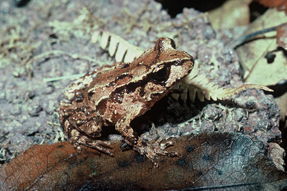 Archey's frog (Leiopelma archeyii), native to New Zealand, is in big trouble. Photo by: New Zealand Department of Conservation.