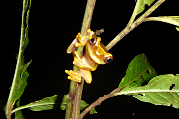 Clown tree frog (Dendropsophus sarayacuensis) in the region. Nestor Allgas Marchena/NPC.