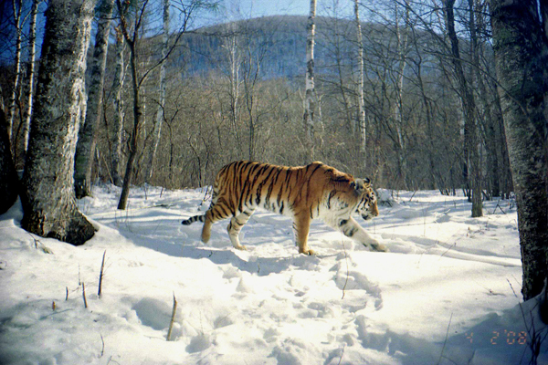Snowy tigers and giant owls: conservation against the odds in Russia's Far East