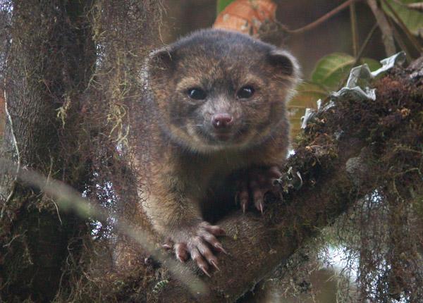 Fotograferet ved Tandayapa Bird Lodge, Ecuador af Mark Gurney