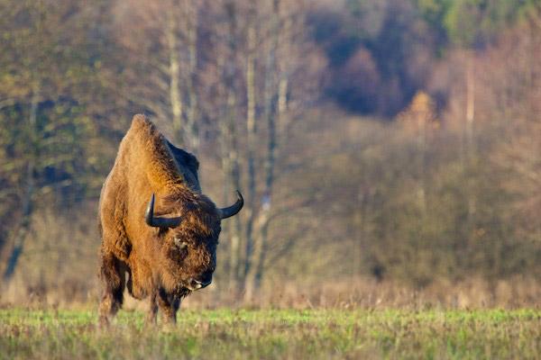 Captive survivors of the European bison from Bialowieza Forest saved the species from extinction. Today around 800 wild bison survive in Bialowieza. Photo by: Lukasz Mazurek