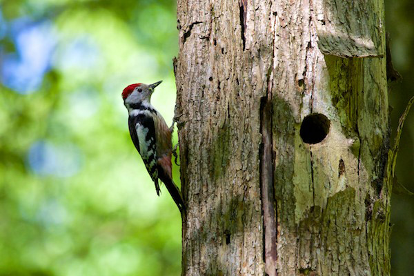 Middle-spotted woodpecker. Bialowieza is famous for its diversity of woodpeckers, some species of which depend largely on old-growth forest. Photo by: Lukasz Mazurek