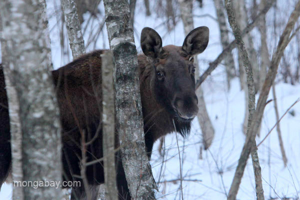 Elk (moose) in the Biebrza Marshes in winter. Photo by: Jeremy Hance.