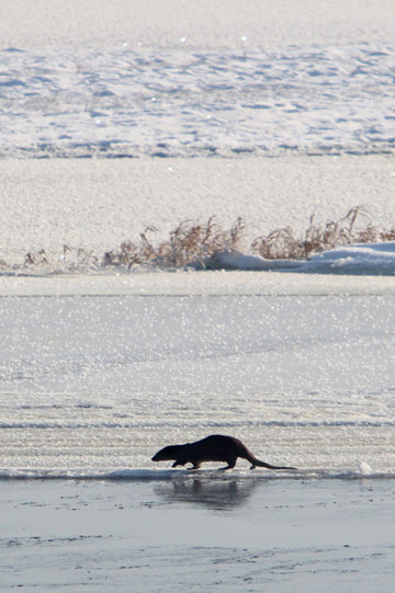 Otter on the banks of the frozen marshes. Photo by: Jeremy Hance.