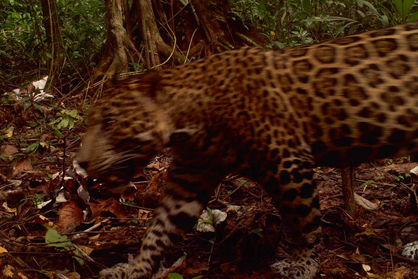 A stealthy jaguar moves across a camera trap in Bankukuk, Nicaragua along the path of the Gran Canal. Conservationists fear the impact of the canal on Nicaragua's already-imperiled wildlife, including far-roving jaguars. Photo by: Christopher Jordan.