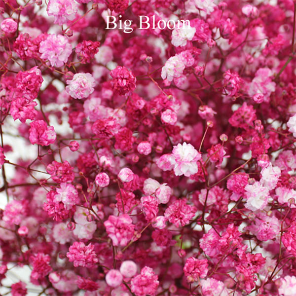 Fresh baby's breath bush airbrushed in hot pink. There are more colors available. (And white, of course). Learn more through the second or third buy link. In the MyOnlineWeddingHelp products section. 5 bunches for $84.99 #MyOnlineWeddingHelp #BabysBreath