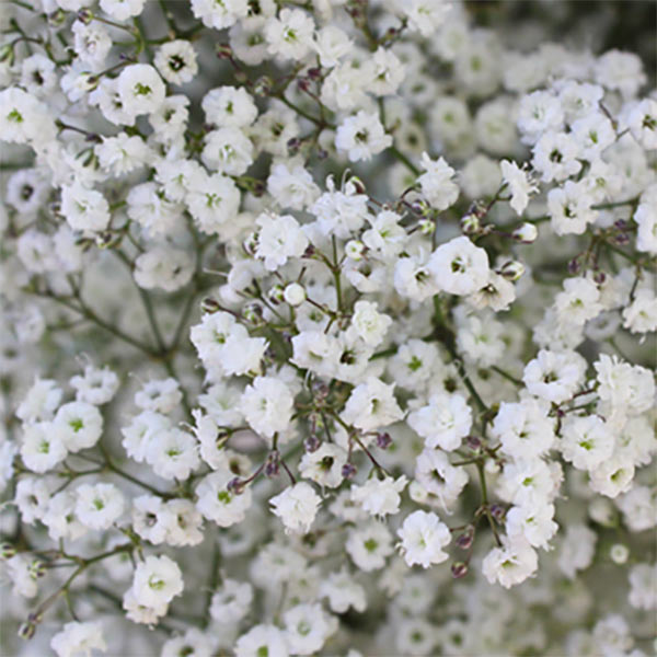 Fresh white baby's breath bushes for wedding centerpieces or bouquets. Learn more through the second or third buy link. In the MyOnlineWeddingHelp products section. 5 bunches for $79.99 #MyOnlineWeddingHelp #BabysBreath
