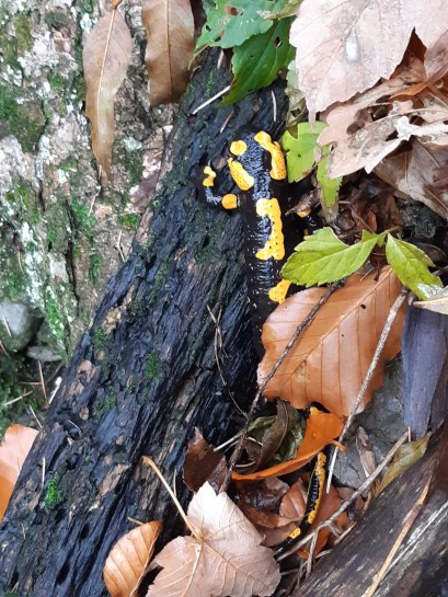 A fire salamander peeks out from the leaves.