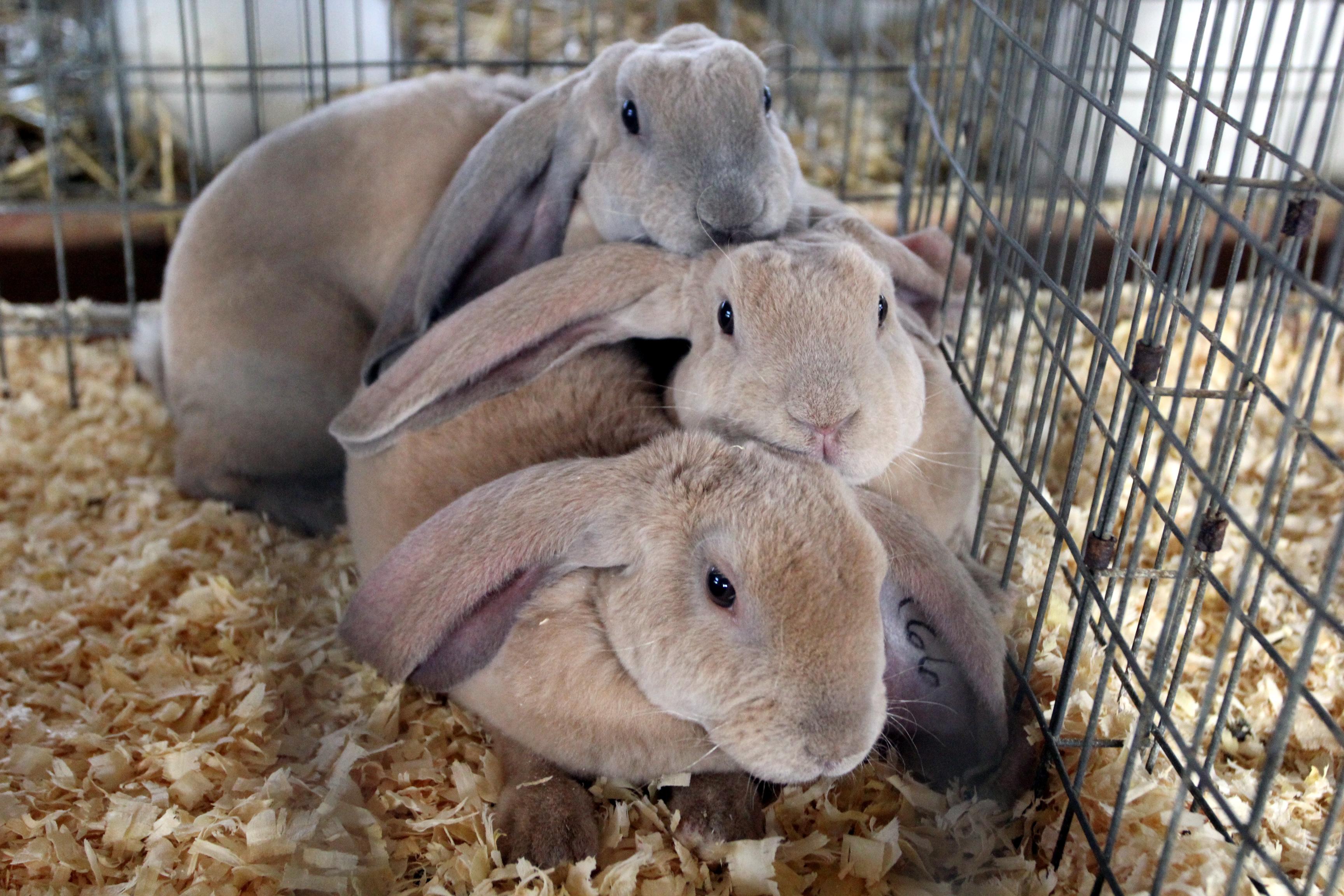 Bunny Love Animals On Show At County Fair
