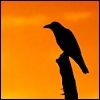 crow sitting on a dead tree top during sunset