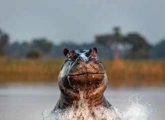Hippo Emerging from Water in Botswana