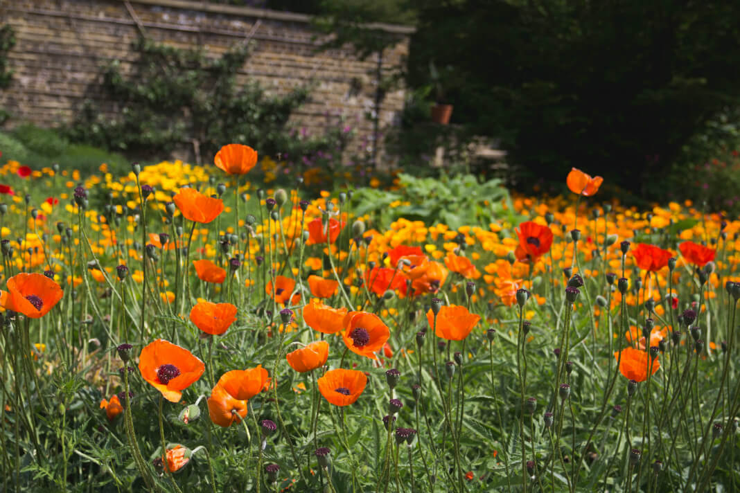 Vibrant field of orange poppies
