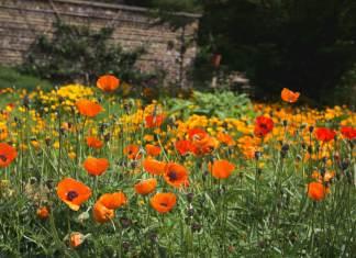 Vibrant field of orange poppies