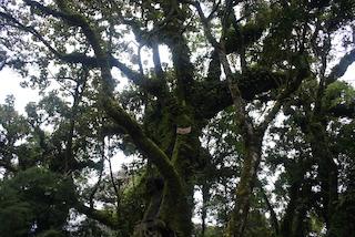 tree in guatemala