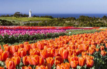 Vibrant tulip fields in Wynyard, Tasmania