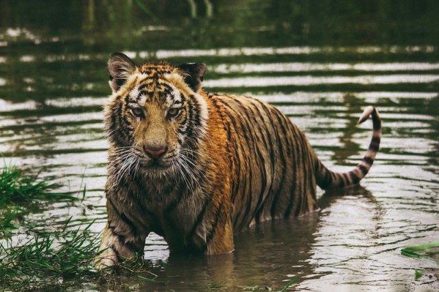 bengal tiger frida bredsen