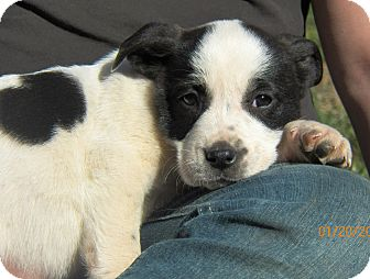 Cookie Adopted Puppy Sussex NJ BoxerBorder Collie Mix
