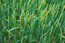 Wheat_Barley_Yellow_Dwarf_yellow_reaction_D_Hershman_KY.jpg