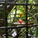 The national bird of Trinidad, the Scarlet Ibis