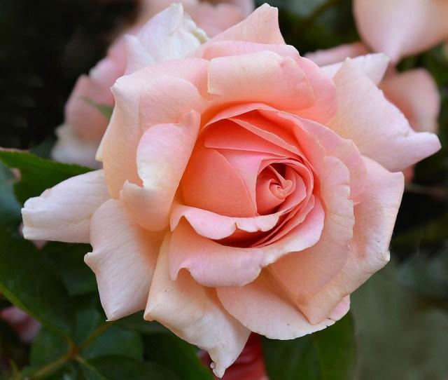 Jackson Perkins Dr Jane Goodall Rose Jgi169