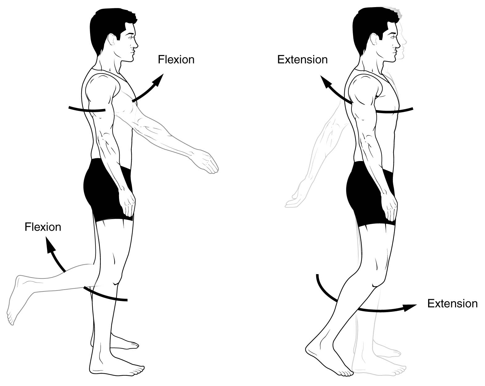 Anatomical Terms Of Movement