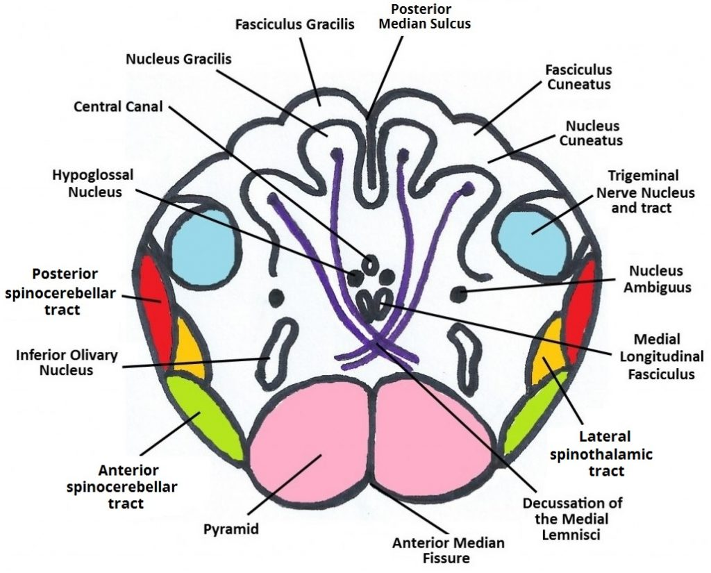 The Medulla Oblongata