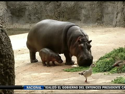 El nuevo inquilino del zoológico de Chapultepec ya tiene nombre