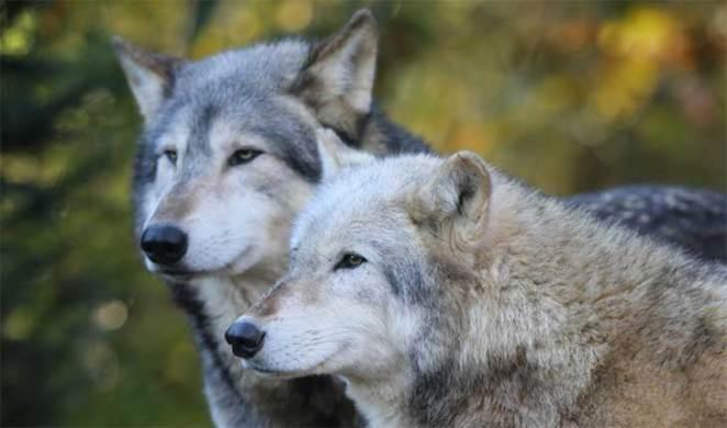 animales fieles para toda la vida - pareja de lobos
